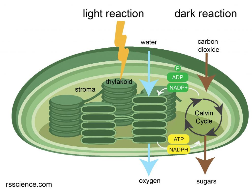 chloroplast-photosynthesis-light-and-dark-reaction