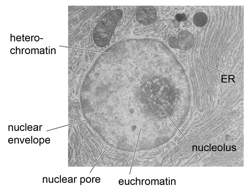 transmission-microscopic-image-of-nucleus-structure