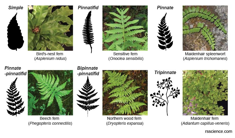 fronds-shape-divisions