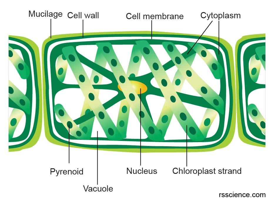 spirogyra-structure-orgnalle