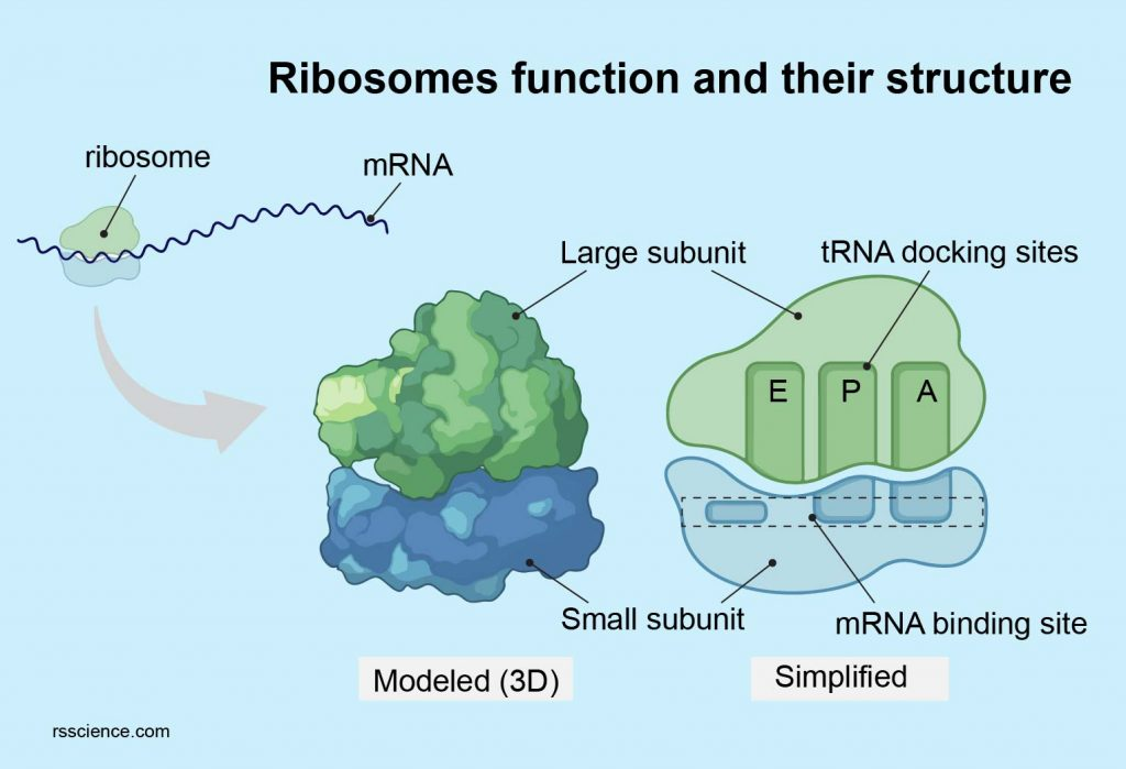 Ribosome function and their structure a