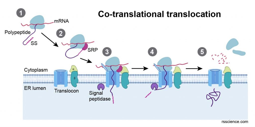 co-translational-translocation