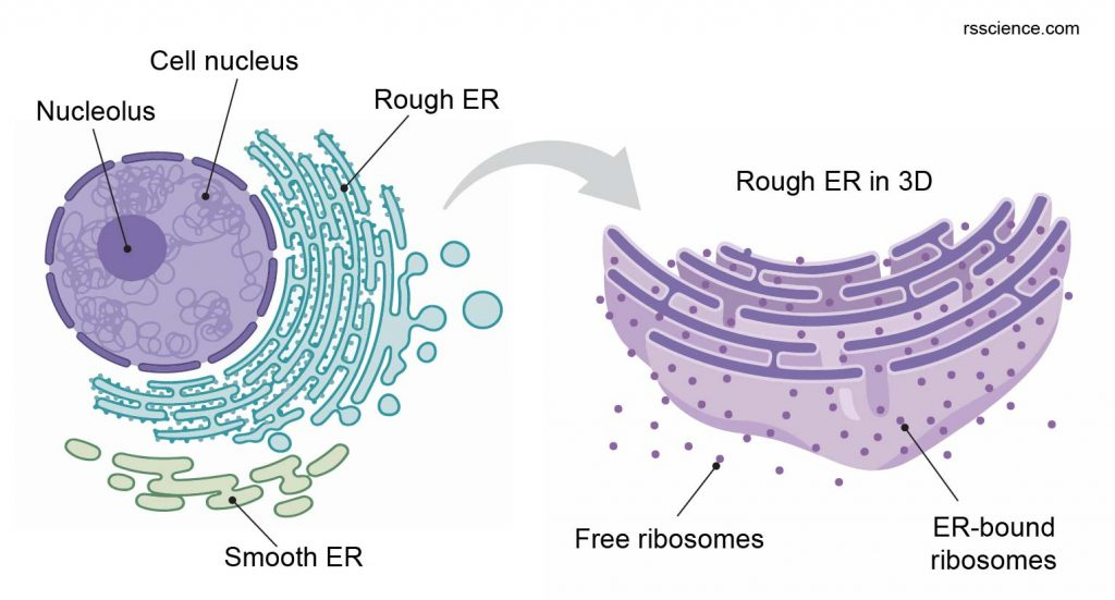 free-ribosome-and-ER-bound