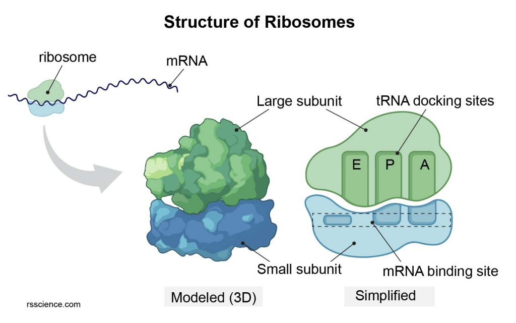 large-subunit-and-samll-subunit-ribosome-structure
