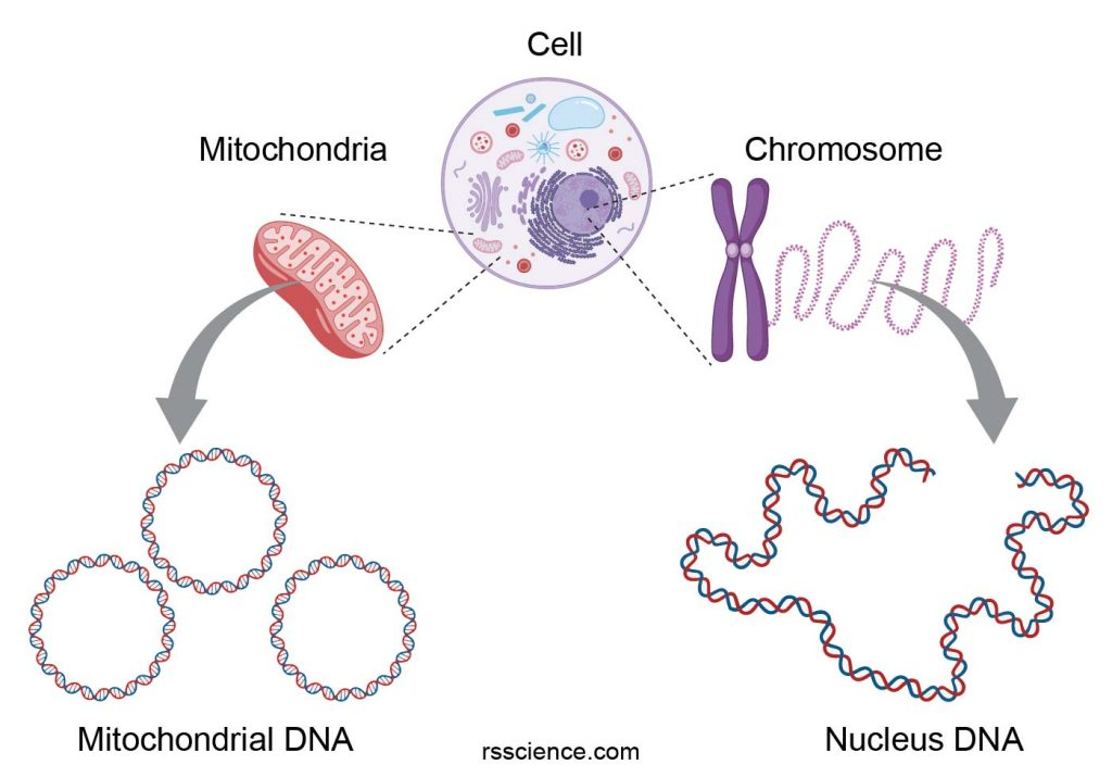 nuclear-and-mitochondria-DNA