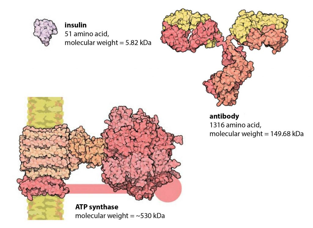 protein-size-insulin-antibody-ATP-synthase