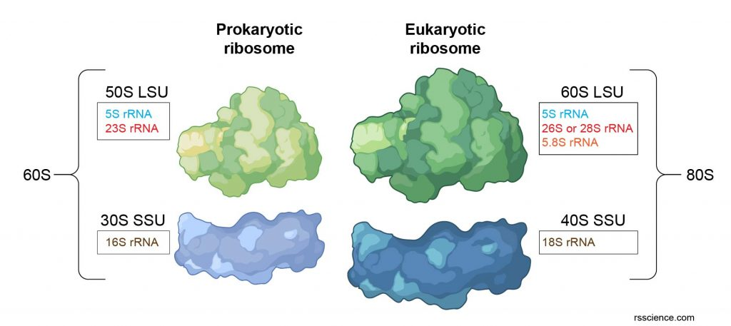 ribosome-structure-difference-between-prokaryotic-and-eukaryotic