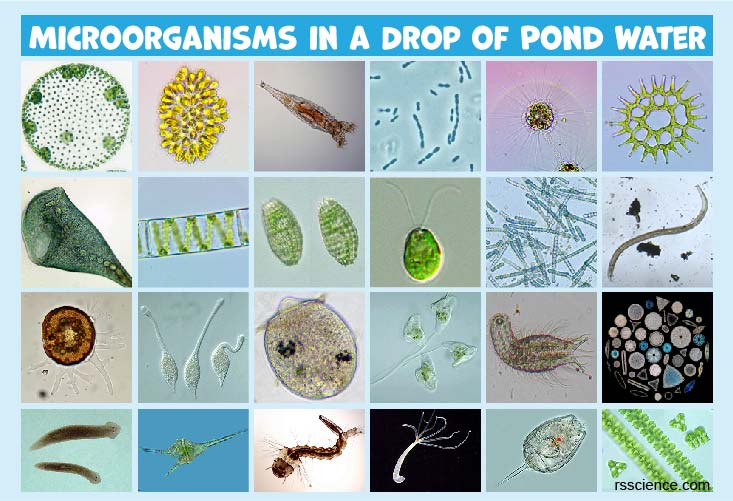 Microscopic Organisms in a Drop of Pond Water
