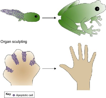 Roles-for-apoptosis-in-tissue-and-organ-sculpting