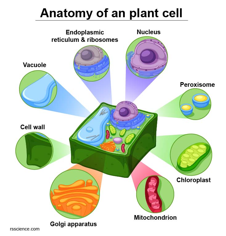 anatomy-of-an-plant-cell