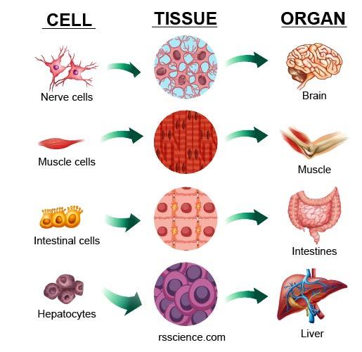 cell-tissue-organ-illustration