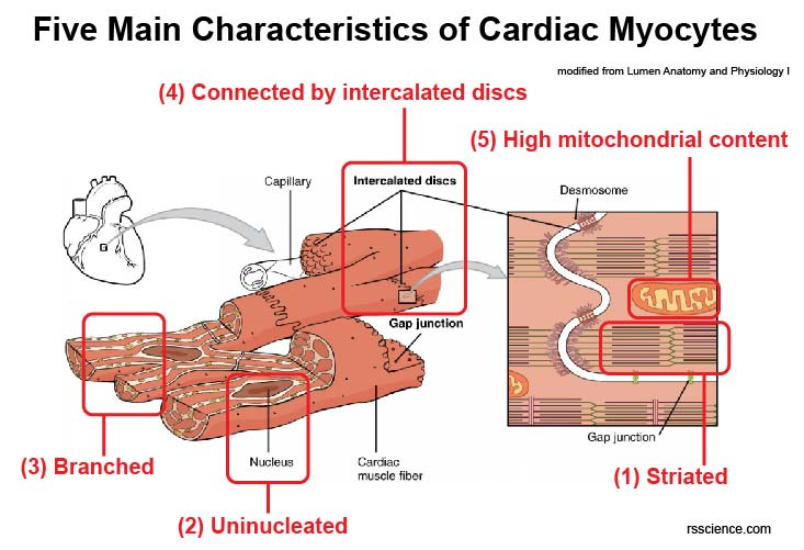 characteristics-of-mature-cardiomyocytes