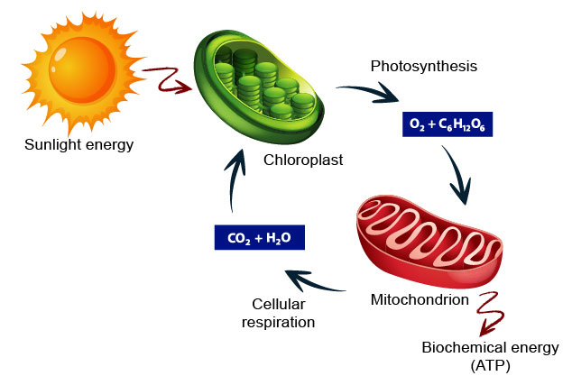 energy-flows-between-chloroplasts-and-mitochondria