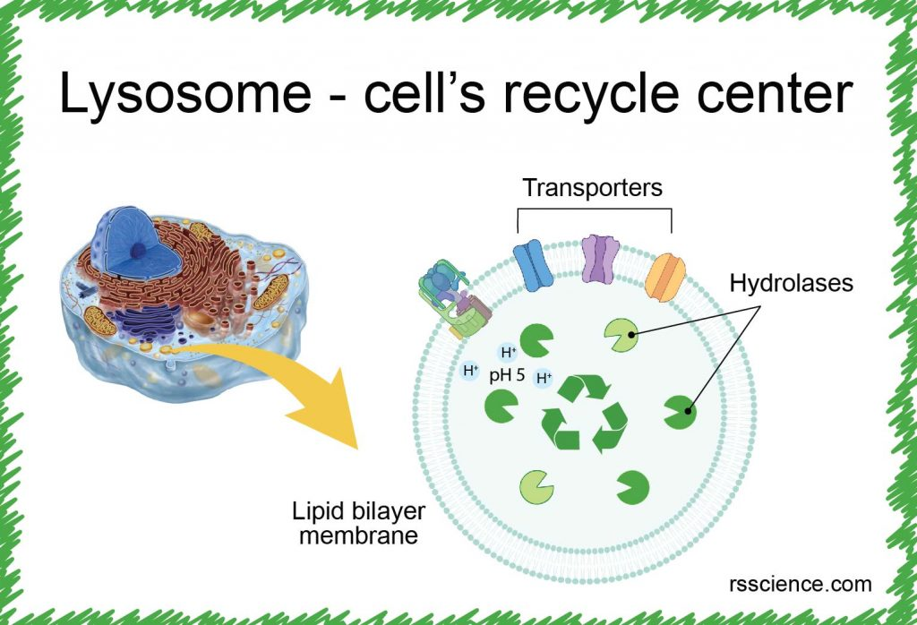 lysosome cell recycle center definition structure function