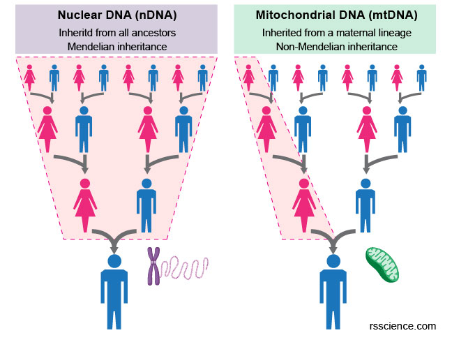 mitochondria-and-nuclear-inheritance