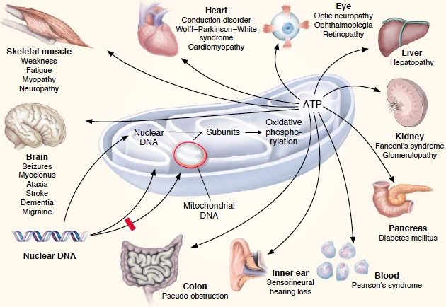 Mitochondria-related diseases