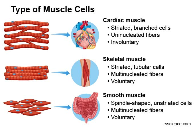 type-of-muscles-cardiac-skeletal-smooth