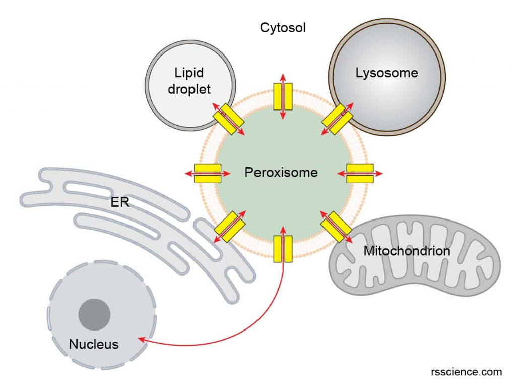 Peroxisome-interact-with-other-organelles