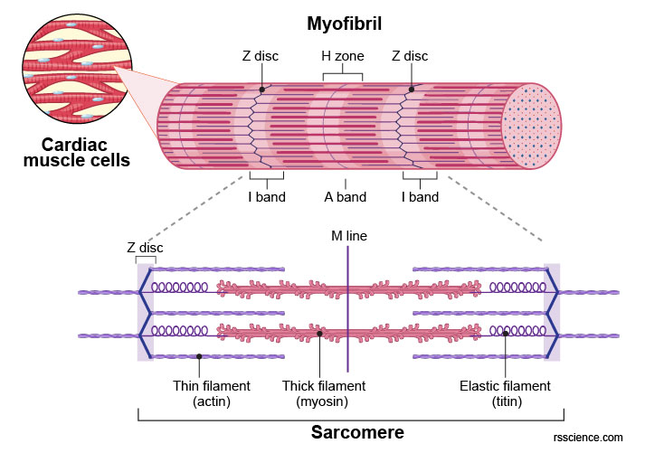 myofibril-sarcomere-cardiac-muscle-cells