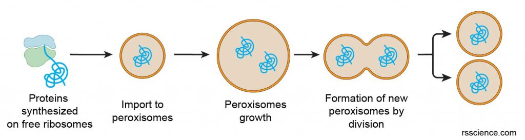 peroxisomes-assembly-biogenesis