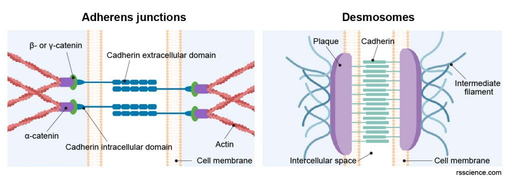 Adherens-junctions-desmosomes