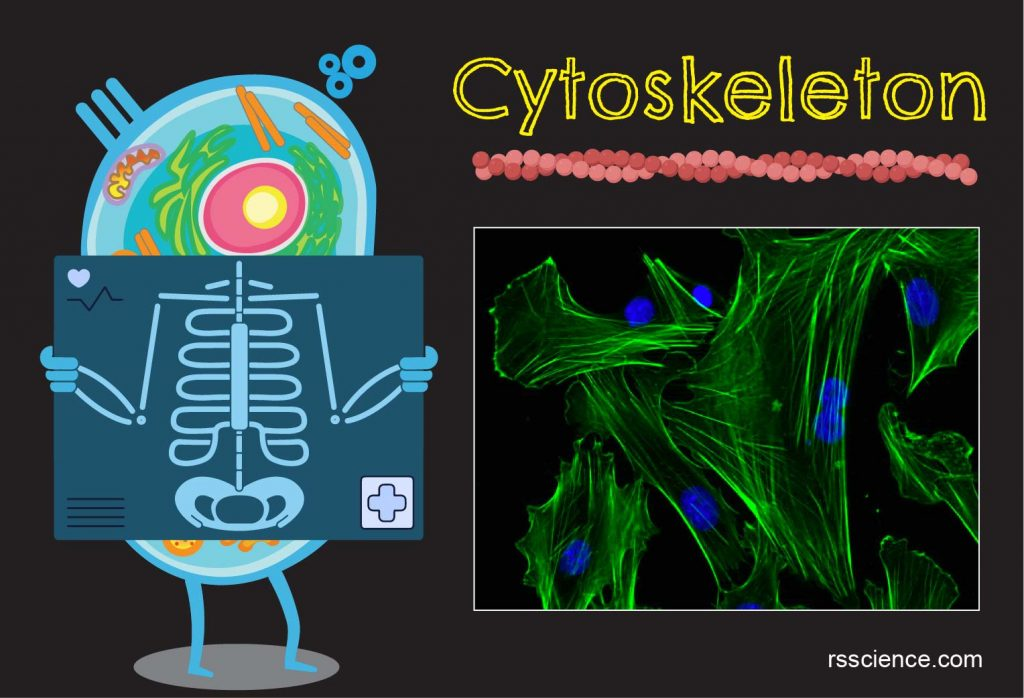 Cytoskeleton definition structure function
