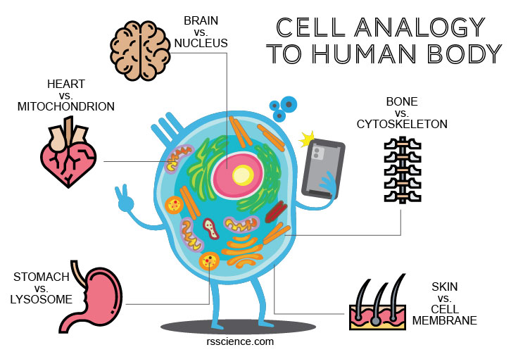 cell-analogy-human-body