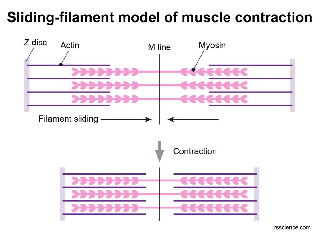 muscle-contraction-model