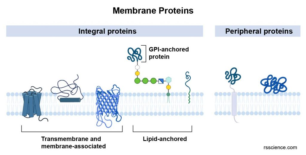 transmembrane-peripheral-lipid-anchored-membrane-proteins