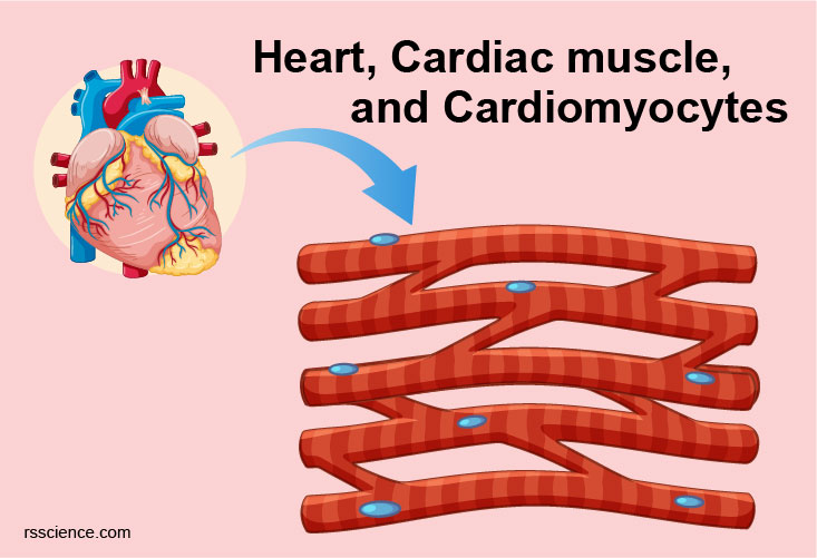 Cardiomyocytes cover