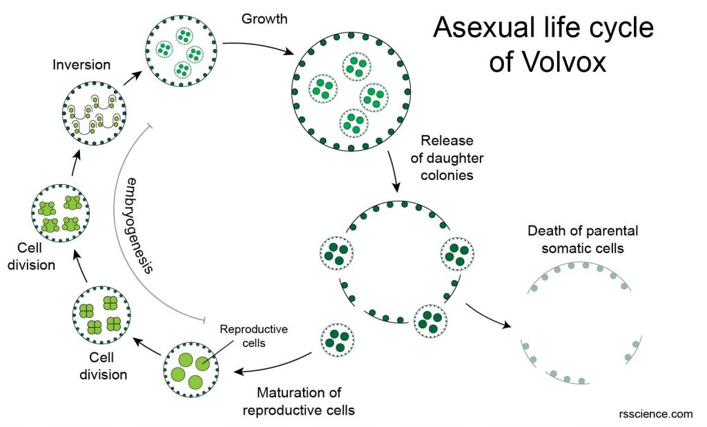 Volvox-sexual-reproduction-life-cycle