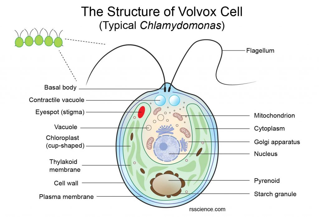 Volvox-somatic-cell-structure-organelle