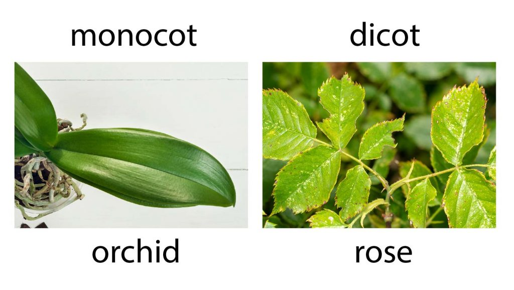 monocot-orchid-dicot-rose-leave