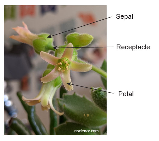 petal-and-sepal-structure