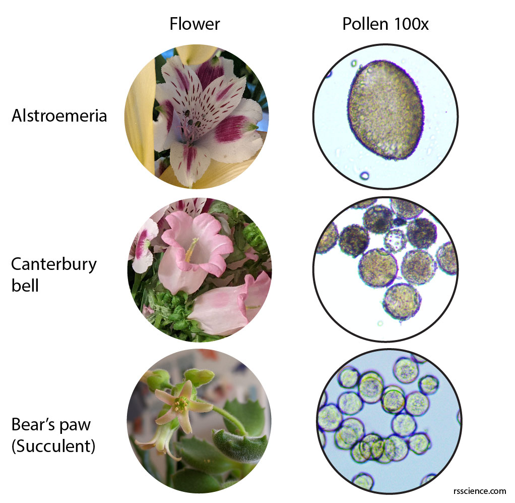 succulent-canterbury-bell-flower-pollens-under-a-microscope