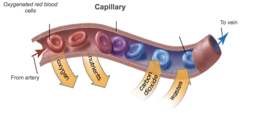 Capilary-red-blood-cells