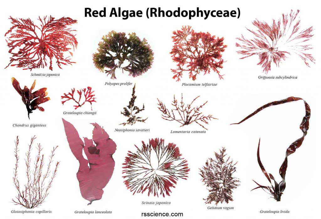 Red-algae-collection