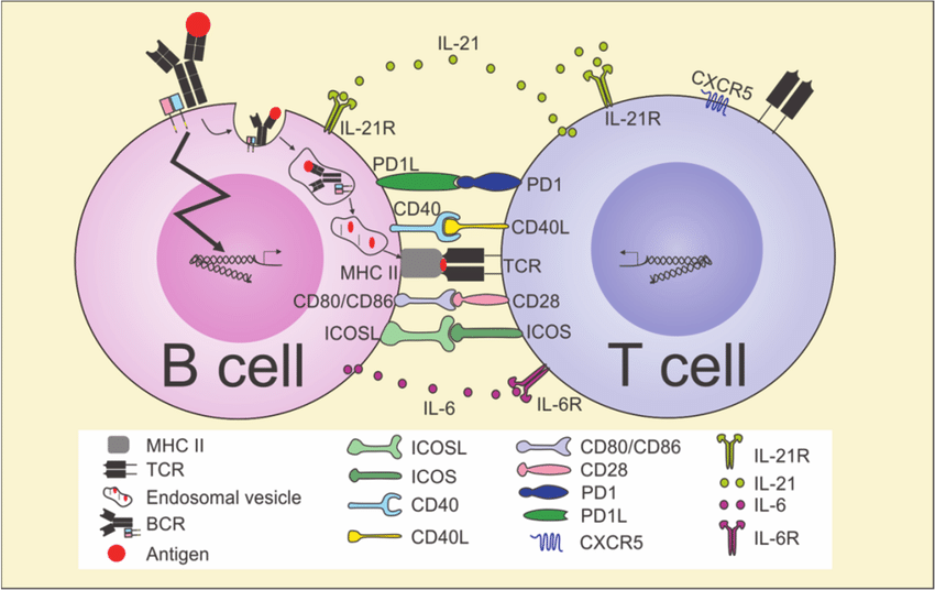Schematic-presentation-of-B-cell-T-cell-activation-in-the-interfollicular-or-T-cell-zone