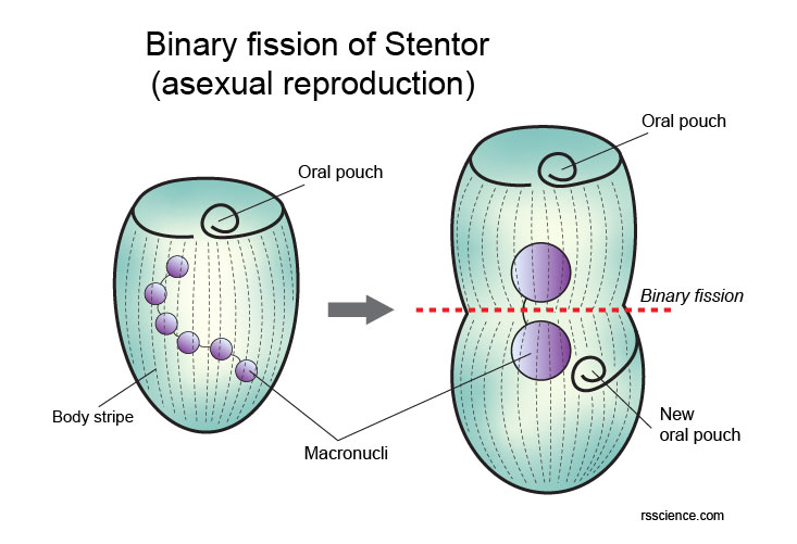 Stentor-asexual-reproduction