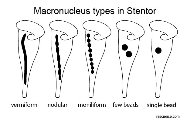 Stentor macronuclei types