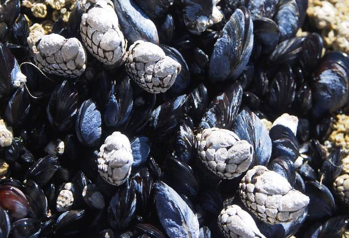 blue-mussels-and-barnacle