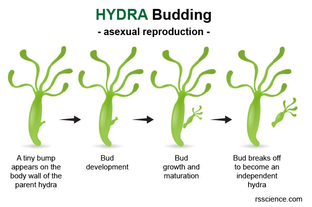 Hydra-asexual-reproduction