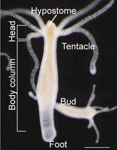 labeled-hydra-body-part